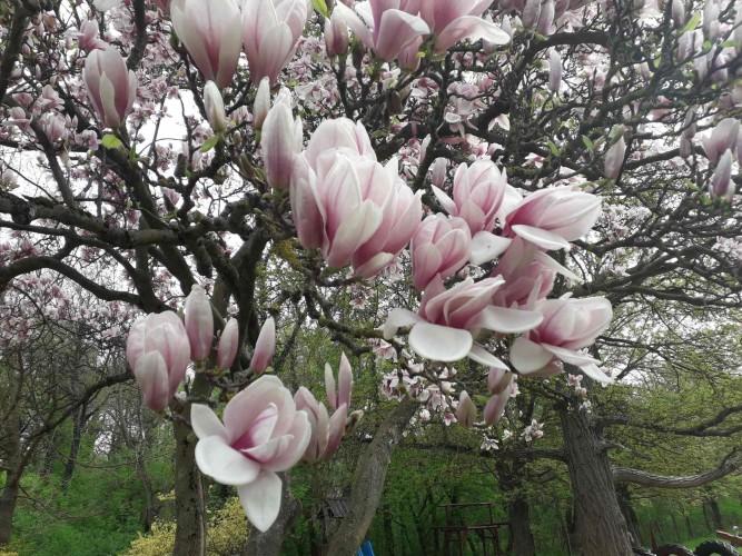 Idén is virágba borult a magnólia
